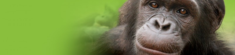Image of a chimpanzee. This is from a social issues marketing campaign we did for the Jane Goodall Institute of Canada, social marketing for change